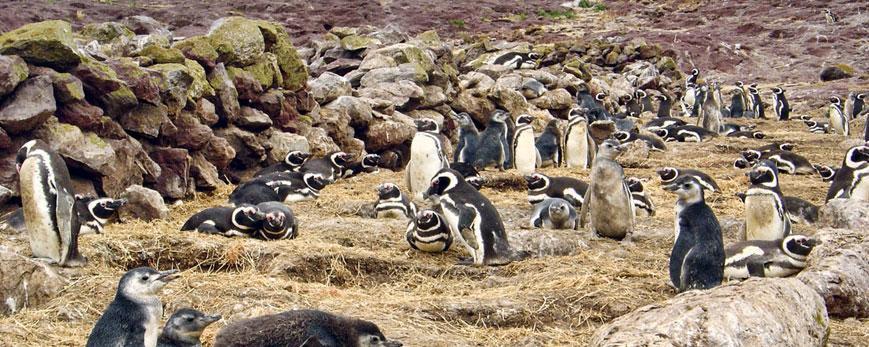 Colonia de Magallanes con nidos afelpados